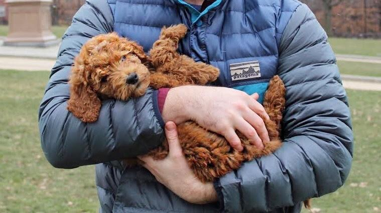 Bunker Hill Monument Goldendoodle Puppy