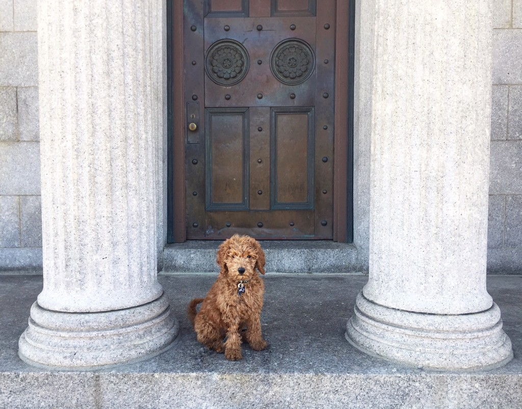 Rory - Goldendoodle