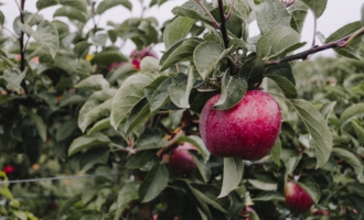 Where to Apple Pick in New England